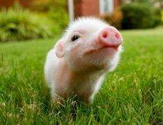 Super piglet cuteness!