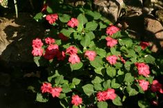Annual Impatiens as Pond Plants...rinse off the soil from roots then tuck into stones to keep plant from floating.