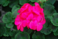 Syngenta Flowers, Inc.: Maverick™ Geranium Rose