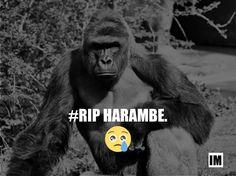 #RIP Harambe! :(