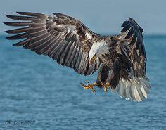 Locked On Target - Bald Eagle