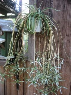 spider plant or airplane plant