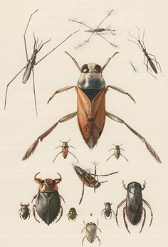 1956 Insects Antique Print Heteroptera Offset by Craftissimo, €13.95
