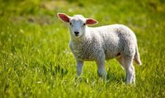 Mid-West/Mid-Atlantic Sheep Forage Blend