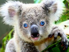 Frankie is the only blue eyed koala in the world and he lives at Dreamworld's Australian Wildlife Experience in Queensland, Australia. Initially worried, staff ran tests but found that apart from some reduced pigmentation, Frankie, dubbed after ol' blue eyes Frank Sinatra, had perfect vision.