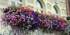 Dejte surfiniím vše, co potřebují, a odvděčí se vám záplavou květů Balcony Flowers, Balcony Plants, Hanging Flowers, Hanging Plants, Blooming Flowers, Blooming Plants, Petunias, Small Balcony Decor, Exterior Design