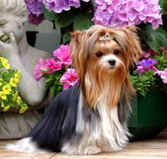 Yorkshire Terrier – Energetic and Affectionate Yorkies, Yorkie Puppy, Puppy Face, Teacup Yorkie, Biewer Yorkshire, Yorkshire Terrier Puppies, Terrier Dogs, Skye Terrier, Yorkie Haircuts