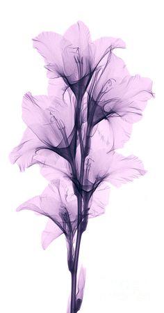 Gladiolus X-ray view.