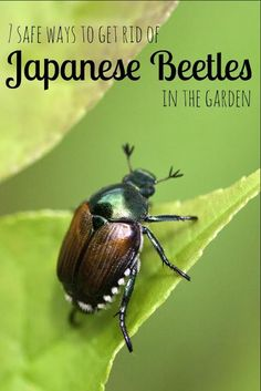 7 Safe Ways to Get Rid of Japanese Beetles in the Garden- Japanese beetles can w. 7 Safe Ways to Get Rid of Japanese Beetles in the Garden- Japanese beetles can wreak havoc on your garden plants. Here 7 ways to repel these pests safely.
