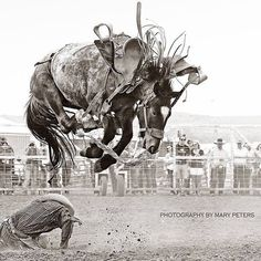 """Kurt Leininger trying to get out of the way"" at the Miles City Bucking Horse Sale 2016. (Facebook share by Tooke Bucking Horses) [Photo credit: Photography by Mary Peters])"