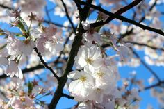 Do you like cherry blossoms?  Photo by Kaitlin McCluskey