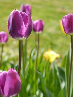 8 tanács, hogy jövőre is virágozzanak a tulipánok – Balkonada Plants, Gardening, Creative, Lawn And Garden, Plant, Planets, Horticulture