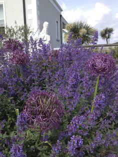 Nepeta 'Six Hills Giant', Allium christophii, Olea europaea, Agata Byrne, award winning garden designer, landscape architect, coastal residential garden, Sandycove, Ireland, June 2014