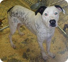 MIDDLE ISLAND, NY - Dalmatian Mix. Meet Chip, a dog for adoption. http://www.adoptapet.com/pet/11361591-middle-island-new-york-dalmatian-mix. Chip grew up at the shelter please help find him a home.
