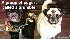 All about pugs. Pug Facts, Animal Facts, Animal Quotes, Facts About Pugs, Pet Pug, Famous Dogs, Dog Heaven, Most Popular Dog Breeds, Pet Peeves