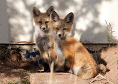 Red Fox Kits by Wild Valley Photos, via Flickr