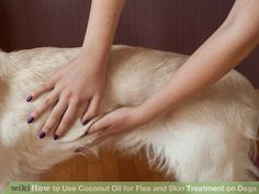 Use Coconut Oil - Coconut oil to get rid of fleas and dry skin. Is there anything coconut oil doesnt do? - 9 Reasons to Use Coconut Oil Daily Coconut Oil Will Set You Free — and Improve Your Health!Coconut Oil Fuels Your Metabolism! Coconut Oil For Fleas, Coconut Oil Uses, Coconut Oil Dogs Skin, Yorshire Terrier, Dog Steps, Oils For Dogs, Flea Treatment, No Rain, Flea And Tick