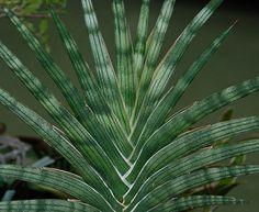 Sansevieria suffruiticosa spiralis