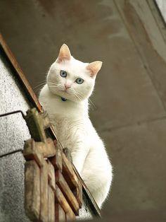 白猫 (white cat)