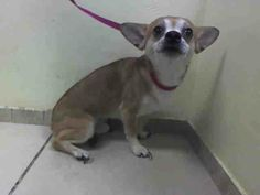 URGENT - BROOKLYN CENTER   NINO -0996670    MALE, TAN / WHITE, CHIHUAHUA SH MIX, 3 yrs  SEIZED - ONHOLDHERE, HOLD FOR EVICTION Reason OWN EVICT   Intake condition NONE Intake Date 04/14/2014, From NY 11207, DueOut Date 04/21/2014 https://www.facebook.com/Urgentdeathrowdogs/photos_stream