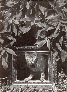 original 10 by 14 photo for the cats of wildcat hill advertisement by famous photographers edward weston  and his wife charis wilson  joseph pokes his head through empty picture frame