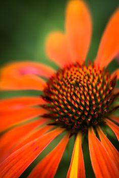 Tumbuhan obat dan sains khasiat ganyong hutan si bunga tasbih sandrine berjonneau google ccuart Image collections