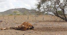 Pior seca em 73 anos traz fome e faz população dividir água com animais