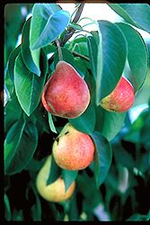 Summercrisp Pear (Pyrus 'Summercrisp') at Bachman's Landscaping