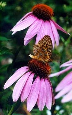 Coneflower butterfly   Idea for quilt block