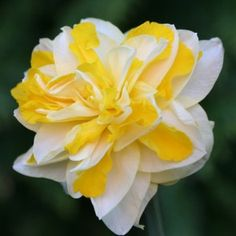 Narcissus Sweet Pomponette