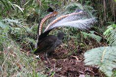 The Lyre Bird - Desktop Nexus Wallpapers Bird Wallpaper, Australian Birds, Bird Feathers, Beautiful Birds, Animals And Pets, Paradise, Pictures, Painting, Photo Ideas