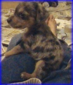 I LOVE this little guy, I call him Scruffers, He's a blue merle and although not the smallest of the bunch he's definitely the baby and loves to be on a lap or be cuddled Chiweenie Puppies, Chihuahuas, Blue Merle, Cuddling, Cool Designs, Guys, Baby, Animals, Physical Intimacy