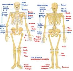 Free Human Anatomy Diagram | Fig : Human anatomy diagram-s keletal system