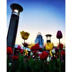 Repost from @jasonbayer via #Project365 2015 ~ #Day111: Tulips and Towers #photoaday #365cincinnati #365challenge2015 #cincinnati #ohio #cincyUSA #lovecincy #greatamericantower #architecture #archidaily #flowers #queencityscenes #cincyscenes #cincyimages #cincygram #ohiogram #igersusa #cincyigers #igerscincinnati #ig_brilliant #iphone6 #iphoneography #all_my_own #rockin_shotz #yelpcincy #beautifulcincinnati #springincincy #heyfred_lookatthis