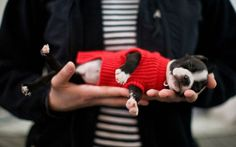 A sleeping boston terrier wearing a red, knit sweater lying in the hands of its owner.