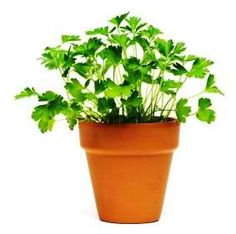 A vile, bogging herb of the very debbil himself, but apparently it's full of good. Growing Herbs Indoors, Good Mood, Parsley, Planter Pots, Plants, Food, Essen, Meals, Plant