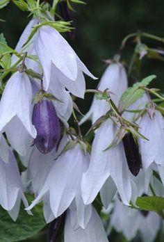 Campanula Iridescent Bells