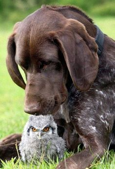 German shorthaired Pointer & baby owl ❤