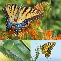 Eastern tiger swallowtail butterfly   How to identify 11 common butterfly species   MNN - Mother Nature Network