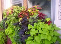 Shade Window Box --Coleus and Sweet Potato Vine Container Plants, Container Gardening, Flower Containers, Beautiful Flowers Garden, Pretty Flowers, Window Box Flowers, Window Boxes, Planting Plan, Garden Yard Ideas