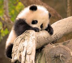 Little Zhen Zhen is a very determined little panda climber! by © kjdrill (Karl Drilling), via Flickr.com