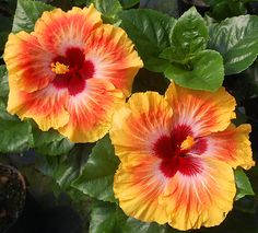 Tropical Hibiscus 'Hot Fun'                                                                                                                                                                                 More