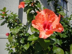 Large orange hibiscus flower bloom outside the headquarters for Sonny's Barbecue in Winter Park. #hibiscus #sonnys #sonnysbbq #orange #ILUVWinterPark #ILUVParkAvenue