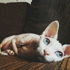 Beautiful sphynx with gorgeous Tiffany blue eyes                                                                                                                                                     More