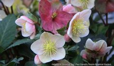 helleborus shooting star