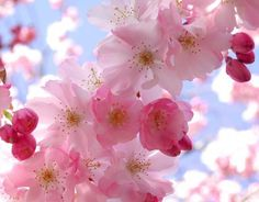 lotus cherry blossom tattoo - Google Search