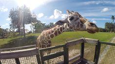 O Serengeti Safari é um tour privado do parque Busch Gardens e te deixa pertinho de animais do safari africano, como antílopes e girafas. E você também pode alimentar alguns deles. Orlando, Busch Gardens Tampa Bay, Animals, Giraffes, Loom Animals, Park, Animales, Animaux, Animais