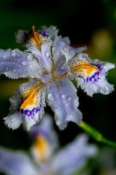 Crying Fringed Iris by Eti Reid