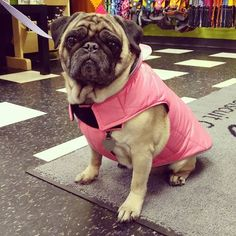 Total cuteness in her @rcpetproducts puffy jacket! #lbcbelfast #pug #styling