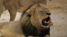 Zimbabwe beschuldigt nog een Amerikaanse arts van illegale leeuwenjacht http://www.rtlnieuws.nl/nieuws/buitenland/zimbabwe-beschuldigt-nog-een-amerikaan-van-illegale-leeuwenjacht…